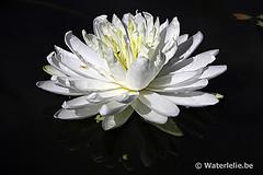 Nymphaea Snowflake
