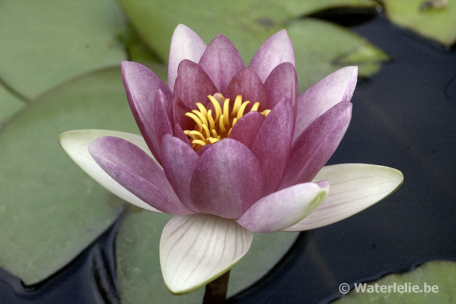 Nymphaea Attraction