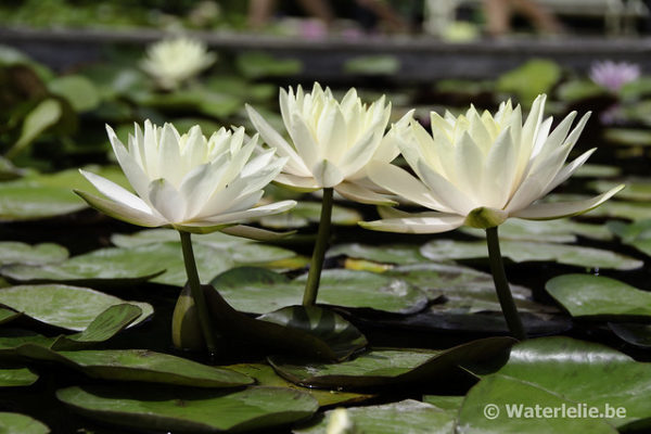 Nymphaea Inner Light
