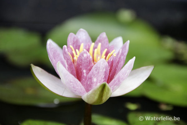 Nymphaea Perry's Baby Pink