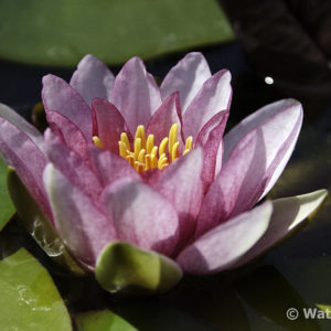 Nymphaea Splendida