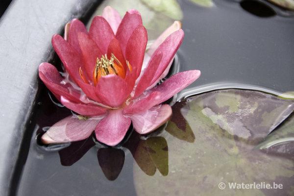 Nymphaea Fulva