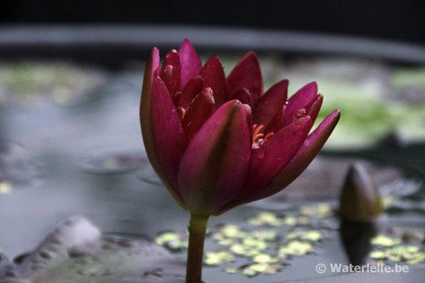 Nymphaea Granat