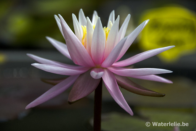Nymphaea American Star