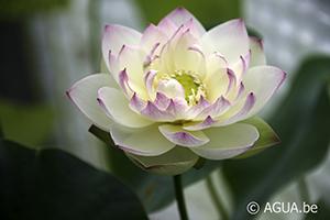 Nelumbo Olympic Lotus