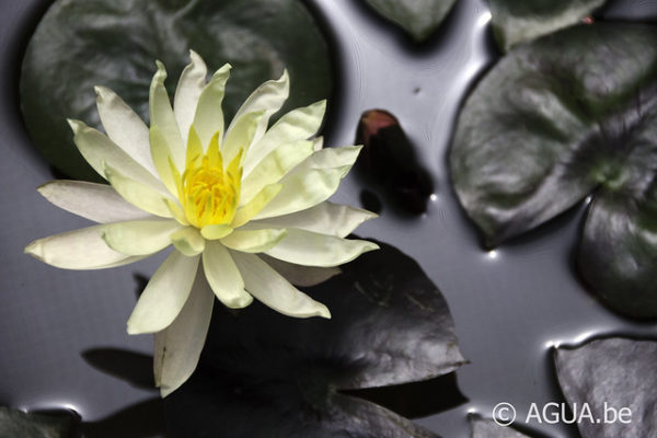 Nymphaea Cliff Tifany
