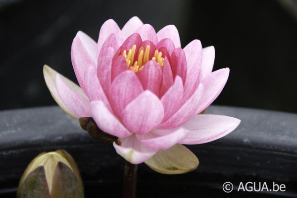 Nymphaea Perry's Super Red