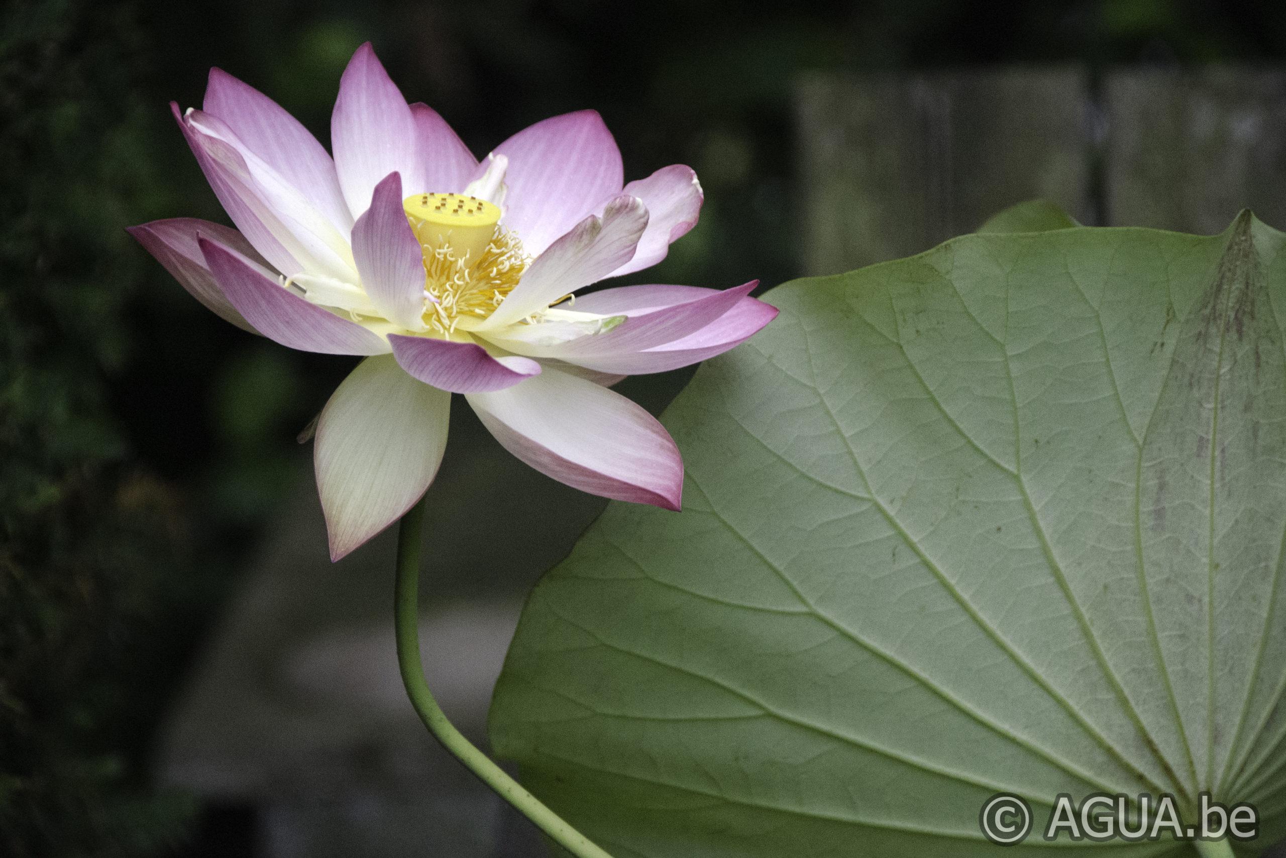 Nelumbo Space Lotus 36: eetbaar