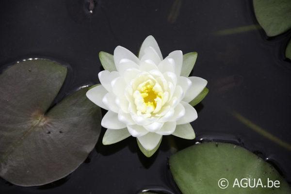 Nymphaea White 1000 Petals
