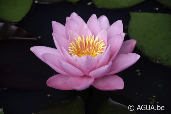 Nymphaea Norma Gedye