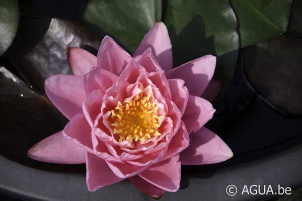 Nymphaea Pink Pumpkin