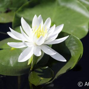Nymphaea Caroliniana Nivea