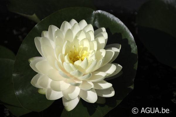 Nymphaea Lemon Meringue