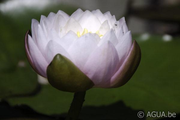 Nymphaea Bangkok Sakura