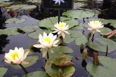 Nymphaea Citrus Twist 2012