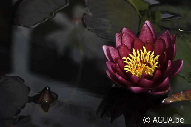Nymphaea Atropurpurea