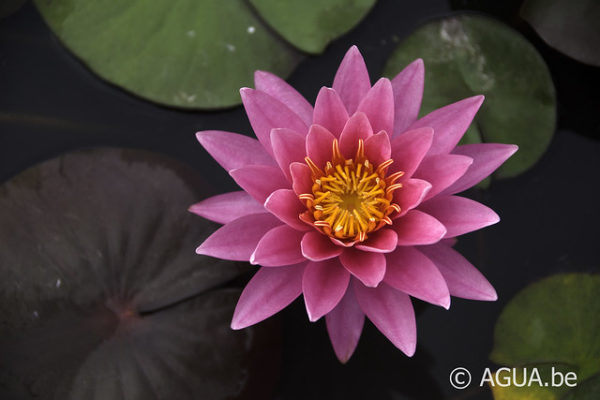 Nymphaea Wow
