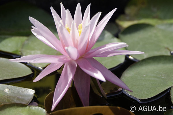 Nymphaea American Star 1985