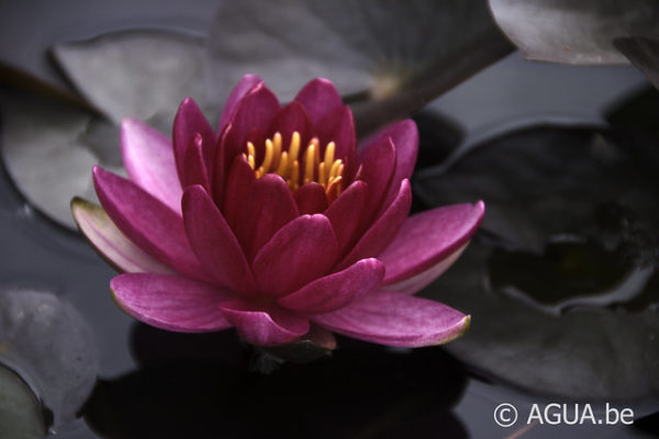 Nymphaea Little Champion