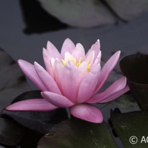 Nymphaea Pink Sensation