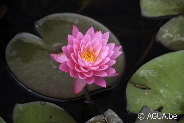 N. 47 petals blad