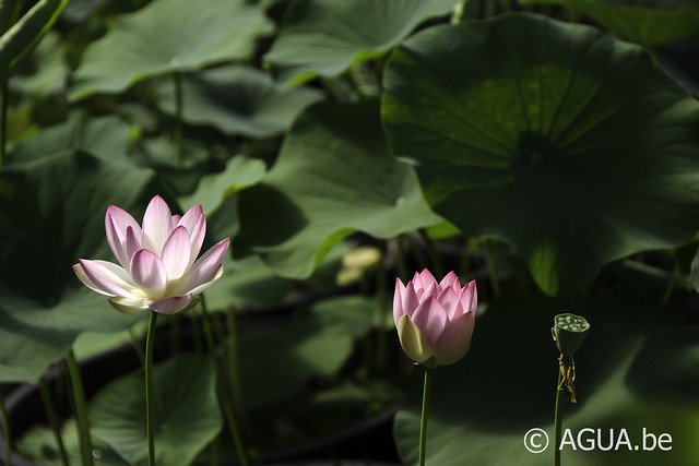 Nelumbo Pink & Yellow