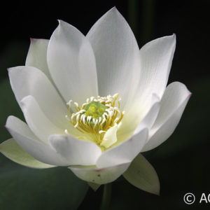 Nelumbo White Crane
