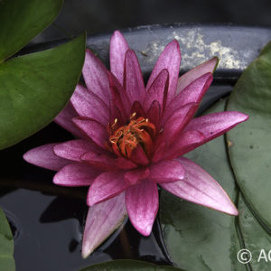 Nymphaea Ruby Star