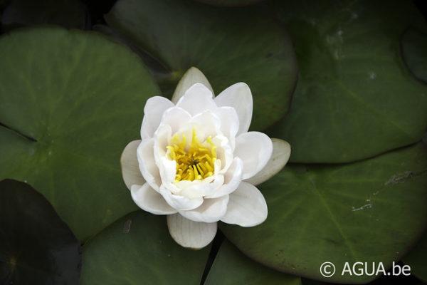 Nymphaea Lactea