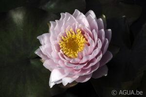 Nymphaea Siam Rose