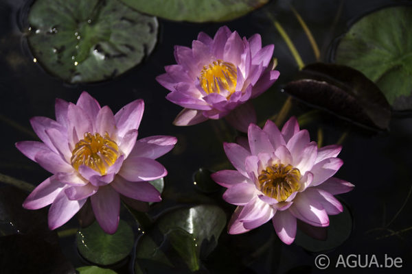 Nymphaea Siam Purple 2