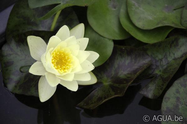 Nymphaea Mandarin