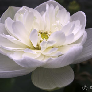 Nelumbo High Cotton