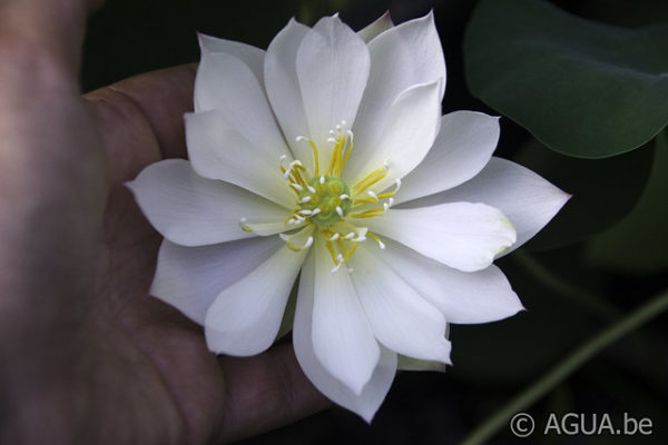 Nelumbo White Crane