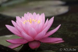 Nymphaea 47 Petals