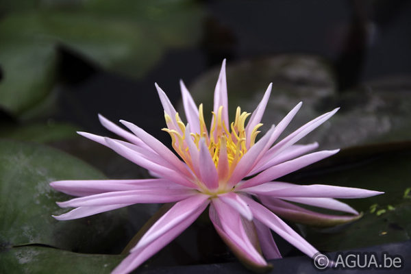Nymphaea Perry's Cactus Pink