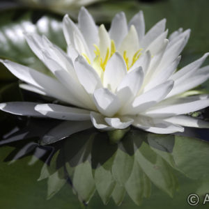 Nymphaea White Sensation