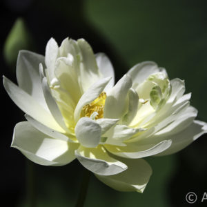 Nelumbo White Chrysanthemum
