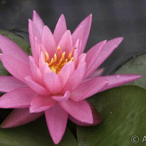 Nymphaea Rose Arey