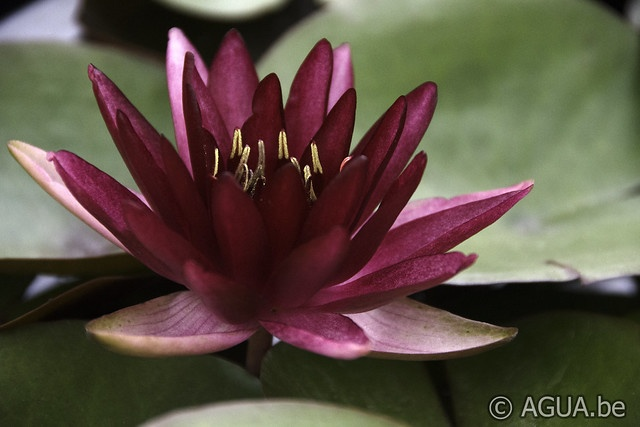Nymphaea Perry's Red Blaze