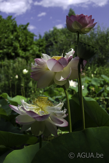 Nelumbo Perry's Super Star
