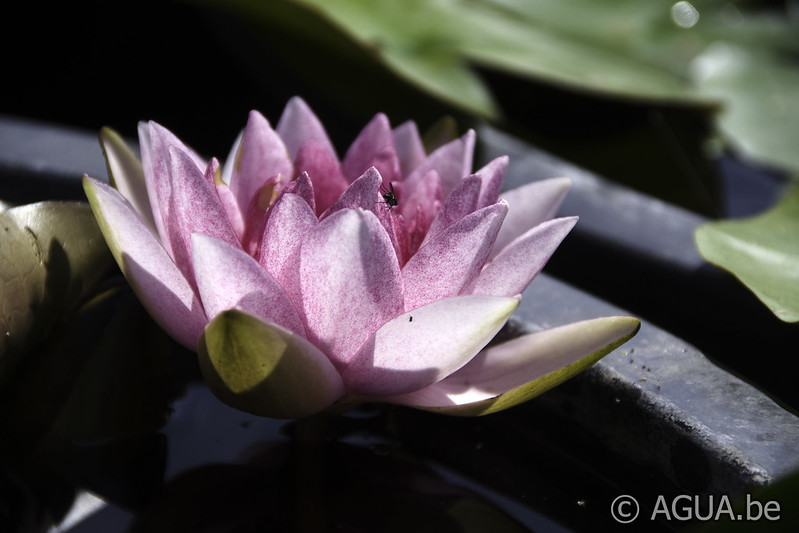 Nymphaea Arethusa