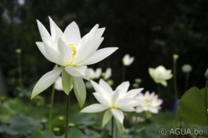 Nelumbo Shirokunshi Tulip Lotus