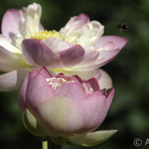 Nelumbo Mrs Perry Dean Slocum