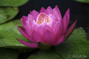 Nymphaea Siam Lucky