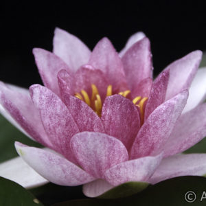 Nymphaea Whisper