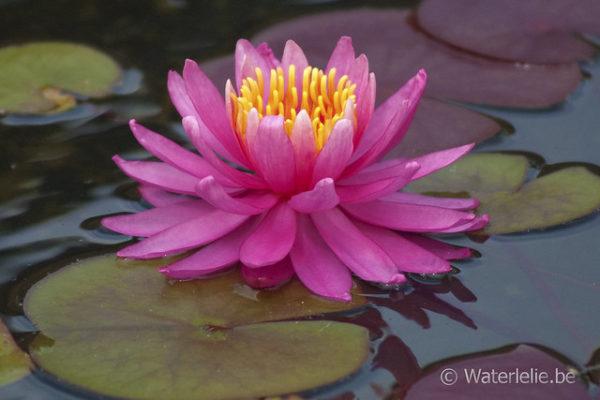 Nymphaea Perry's Viviparous Pink