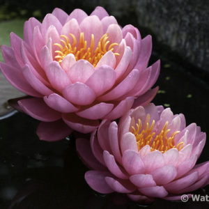 Nymphaea Perry's Fire Opal