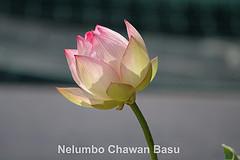Nelumbo Chawan Basu