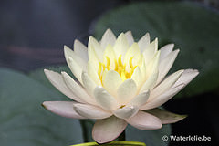 Nymphaea Clyde Ikins 1996